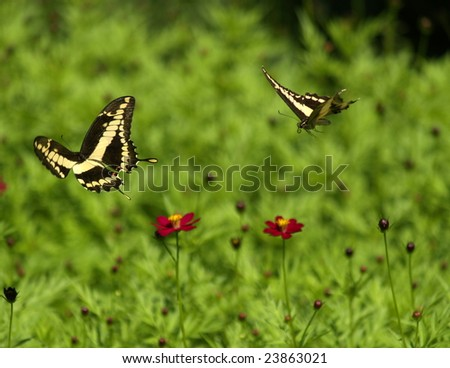 Papilio paeon butterflies at play, Ometepe Island, Nicaragua - stock photo