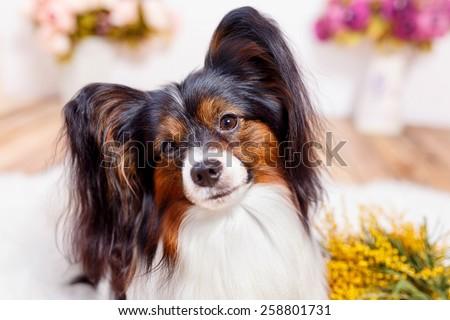 Papillion dog   - stock photo
