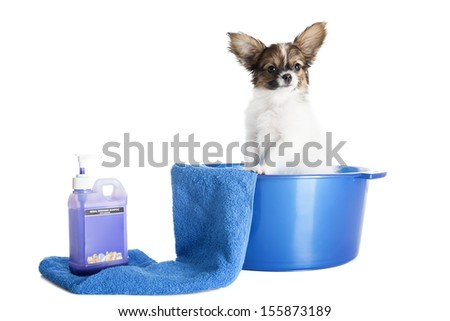 Papillon breed dog in a bowl on a white background in studio