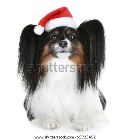 Papillon breed dog in red christmas hat on a white background - stock photo