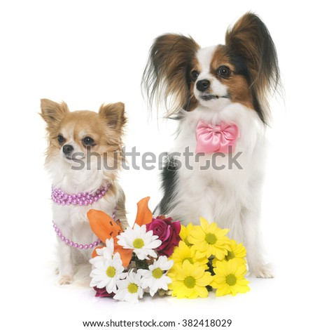 papillon dog and chihuahua in front of white background - stock photo