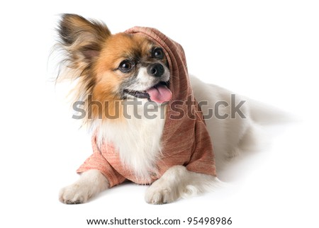 Papillon dog breed in the hood,on white background