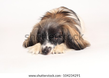 papillon dog Close-up portrait on a white background - stock photo
