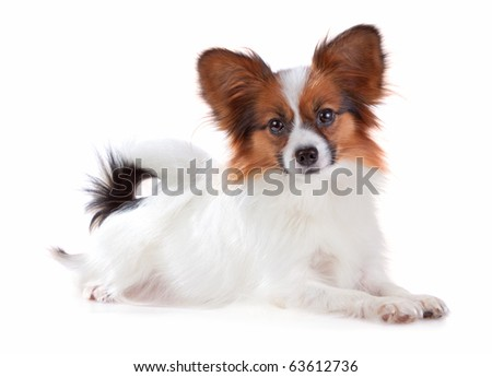 Papillon dog isolated on a white background - stock photo