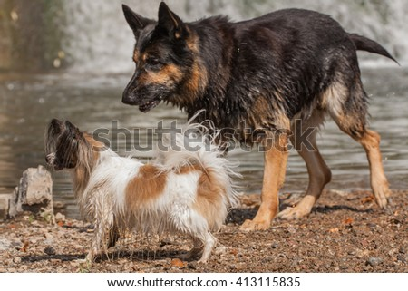 Papillon dog Issac of Erebia Manto and German shepherd playing in the water at the weir - stock photo