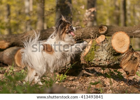 Papillon dog Issac of Erebia Manto dancing on hind legs - stock photo
