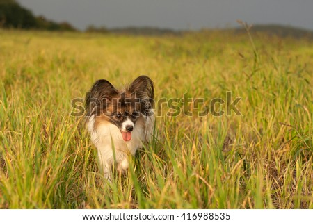 Papillon dog Issac of Erebia Manto, on the meadow before the storm - stock photo