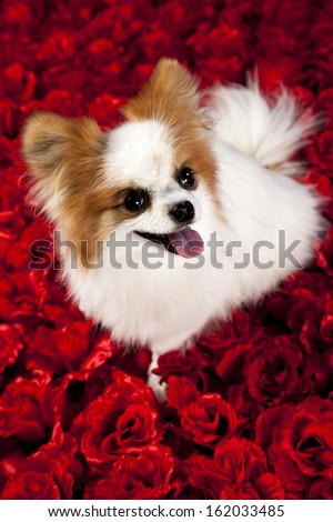 papillon dog on a red rose background for valentines - stock photo