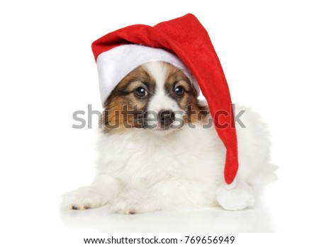 Papillon dog puppy in Santa red hat on white background