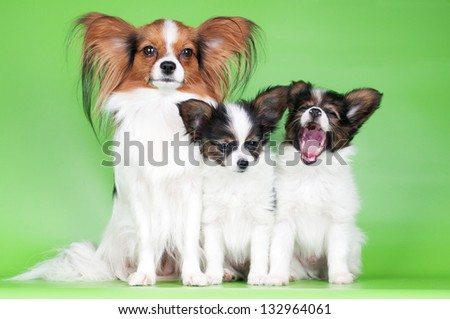 papillon dog with two puppies