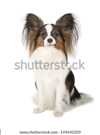 Papillon isolated on white background