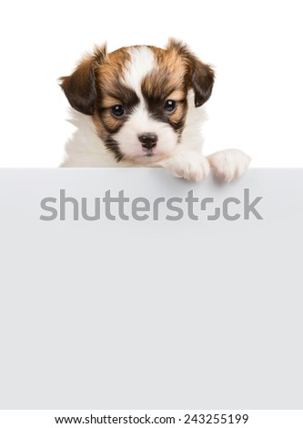 Papillon puppy age of one month relies on blank banner. White background  - stock photo