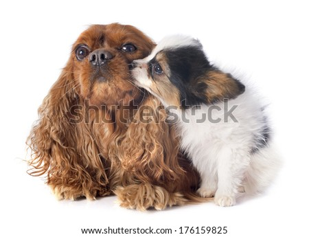 papillon puppy and cavalier king charles in front of white background - stock photo