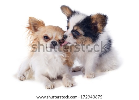 papillon puppy and chihuahua in front of white background - stock photo