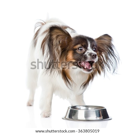Papillon puppy chewing on dry food. isolated on white background - stock photo