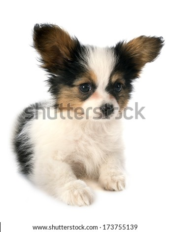 papillon puppy in front of white background - stock photo