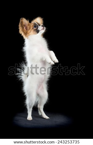 Papillon puppy of four months is standing on its hind legs. Black background - stock photo