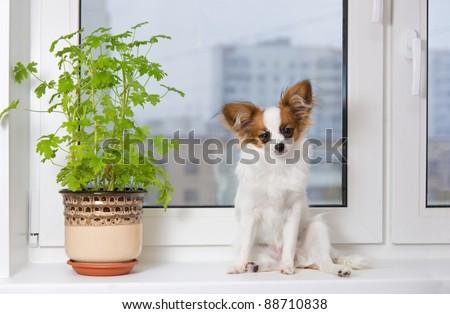 Papillon puppy sitting on a plastic windowsill - stock photo