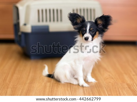 Papillon puppy sitting on floor about travel plastic carrier for pets - stock photo