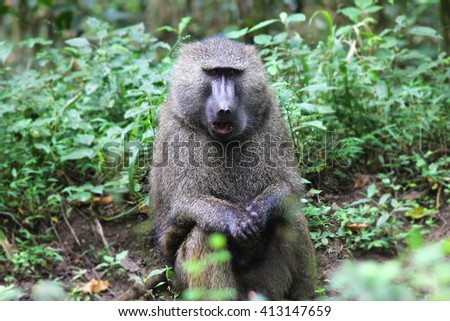 Papio anubis - a male baboon sitting in the forest of Arusha National Park. - stock photo
