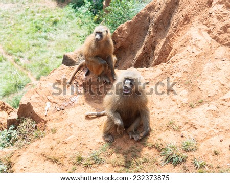 Papio in the mountain - stock photo