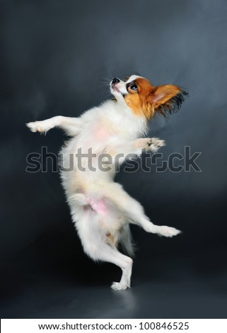 pappion puppy dancing - stock photo