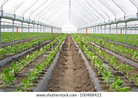 Paprika in greenhouse - stock photo