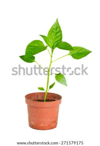 paprika plant isolated on white - stock photo