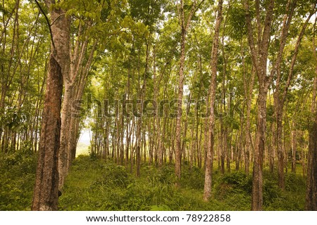 Pará rubber tree,  family Euphorbiaceae, forrest farm in tropical Phangna, South Thailand! - stock photo
