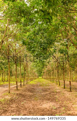 para rubber tree forest in northeast, thailand - stock photo