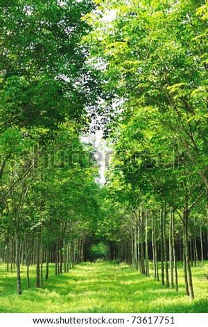 Para rubber tree garden in Thailand - stock photo