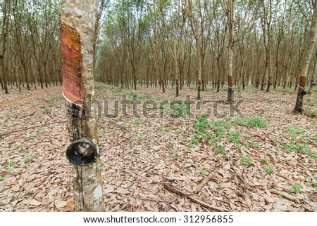 Para wood trees in thailand