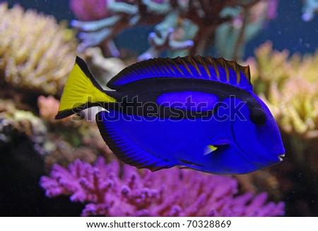 Paracanthurus hepatus marine fish - stock photo