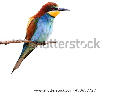 paradise bird sitting on a branch isolated  white