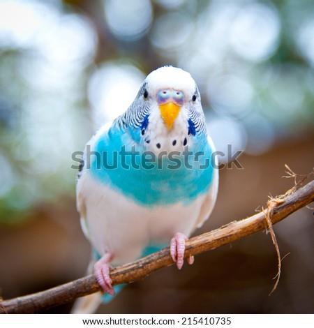Parakeet - stock photo