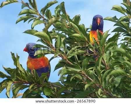 Parakeets in a tree - stock photo