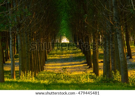 Parallel alignment of poplar trees in a forest in spring, under warm evening light