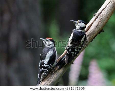 Parallel Great Spotted Woodpeckers - stock photo