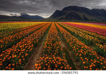 Parallel rows of colorful tulips converging in the distance with dark mountains - stock photo