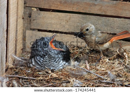 parasitic cuckoo bird chick in nest redstart