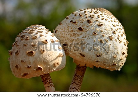 Parasol mushroom in his natural area with green grass on the background.