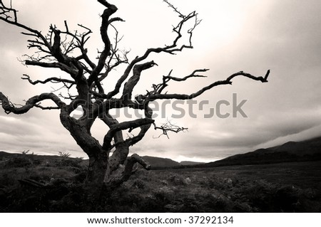 Parched single tree in Scottish landscape - stock photo