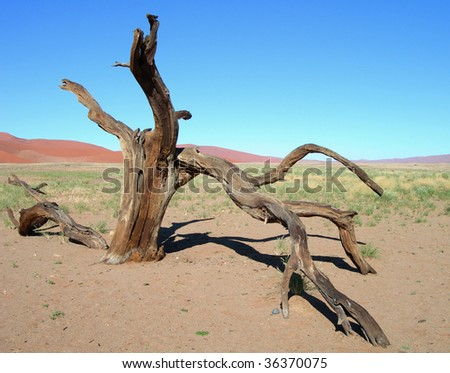 Parched skeletal tree and the sand dunes of the Kalahari desert in Namibia, Africa - stock photo