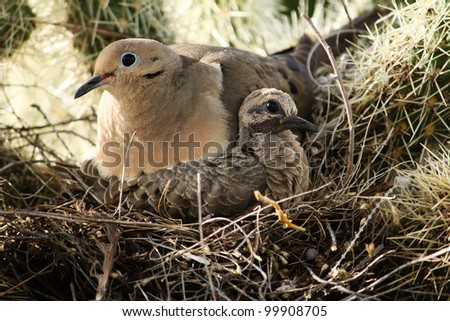 Parent and fledgling Mourning Doves (Zenaida Macroura) in nest during summer in desert Southwestern USA/Mourning Dove and Chick in Nest on Cactus Plant/Mourning Dove and chick in nest  - stock photo