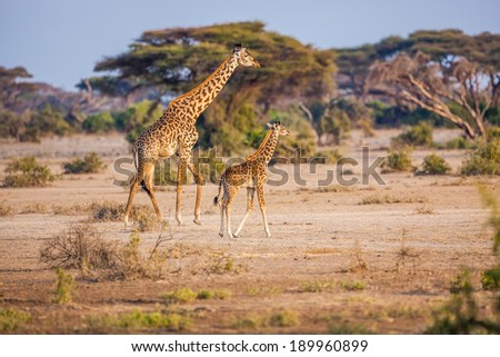 Parent and young giraffe in morning light in Tanzania - stock photo
