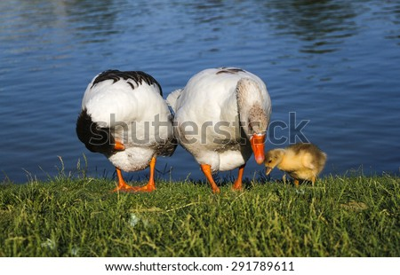Parent geese with their young gosling. Baby goose. - stock photo