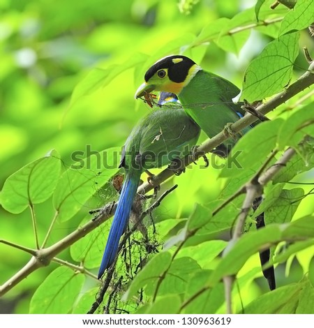 Parents of colorful Broadbill, Long-tailed Broadbill (Psarisomus dalhousiae), during nesting on a branch