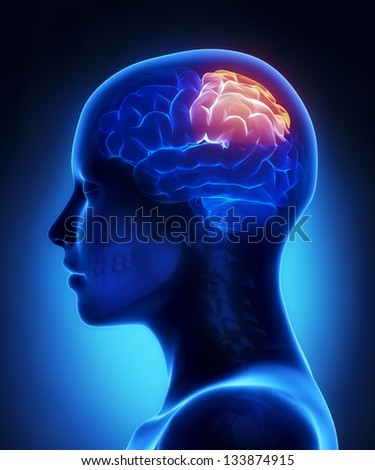 Parietal lobe - female brain anatomy lateral view - stock photo