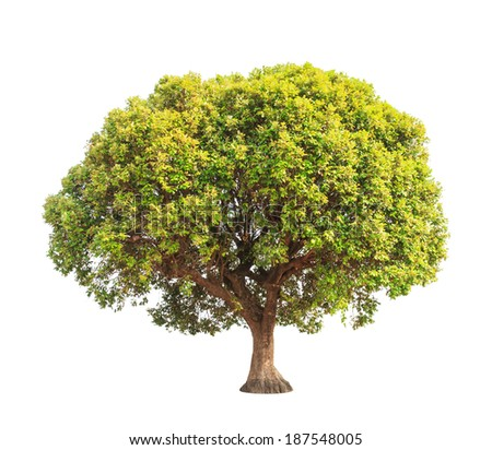 Parinari anamensis, tropical tree in the northeast of Thailand isolated on white background - stock photo