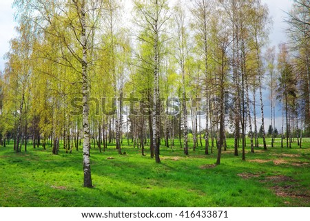 Park with birch trees and green grass